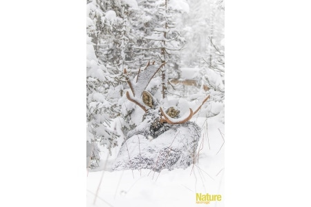 Grand prix 2020 - Jean-Simon Bégin - Orignal dans la neige - Gaspésie